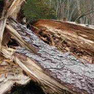 """Documento di sintesi primo incontro pubblico """"Dopo le devastazioni, quale futuro per i nostri boschi"""", Pieve di C. 07.12.018"""