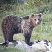 """Catturato Papillon, l'orso """"problematico"""" e petizione"""